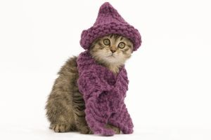 LA-5539 Cat - British longhair - 8 week old kittens wearing purple hat & scarf