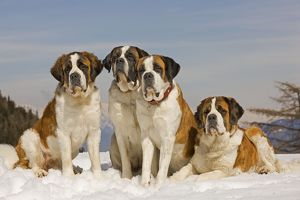 LA-5556 Dog - St Bernard - four sitting in line in snow