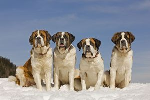 LA-5557 Dog - St Bernard - four sitting in line in snow