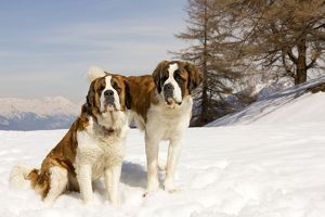LA-5558 Dog - St Bernard - two sitting in snow
