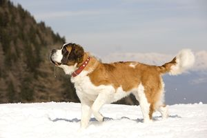 LA-5567 Dog - St Bernard in snow