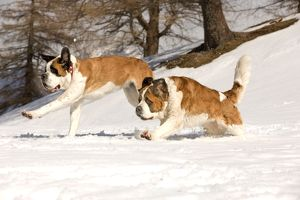 LA-5568 Dog - St Bernard running in snow