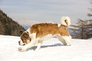 LA-5569 Dog - St Bernard running in snow