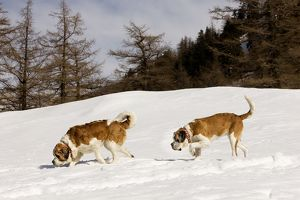 LA-5571 Dog - St Bernard - two sniffing in snow