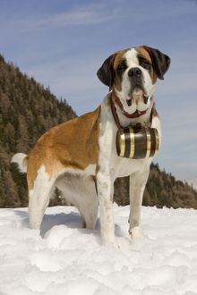LA-5575 Dog - St Bernard - Mountain Rescue dog wearing barrel round neck in snowy