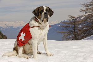 LA-5577 Dog - St Bernard - Mountain Rescue dog wearing barrel round neck in snowy