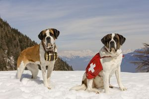 LA-5578 Dog - St Bernard - two Mountain Rescue dogs wearing barrel round neck