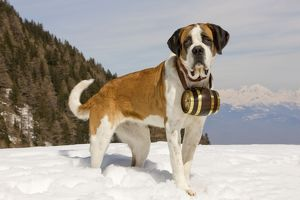 LA-5579 Dog - St Bernard - Mountain Rescue dog wearing barrel round neck in snowy
