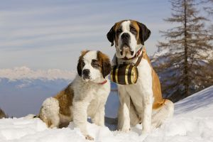 LA-5580 Dog - St Bernard - Mountain Rescue dog wearing barrel round neck in snowy