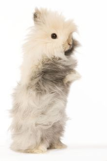 LA-5594 Rabbit - dwarf angora in studio