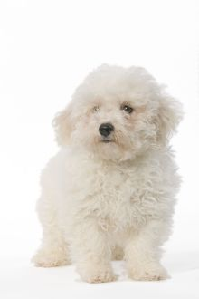 LA-5609 Dog - Bichon Frise - puppy sitting in studio