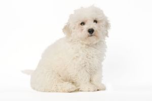 LA-5611 Dog - Bichon Frise - puppy sitting in studio