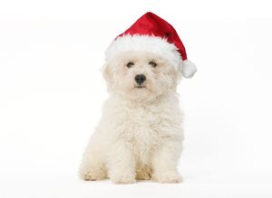 LA-5612-M Dog - Bichon Frise - puppy sitting in studio wearing Christmas hat