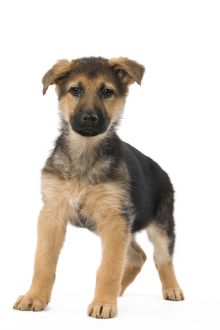 LA-5613 Dog - German Shepherd / Alsastian - puppy in studio