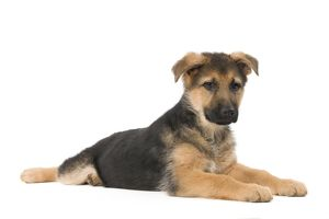 LA-5614 Dog - German Shepherd / Alsastian - puppy in studio