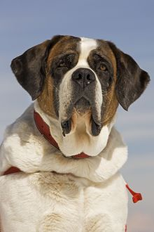 LA-5629 Dog - Saint Bernard