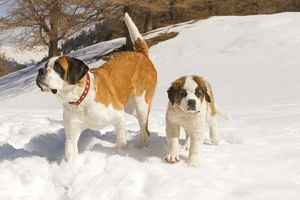 LA-5630 Dog - St Bernard - adult with puppy in snow