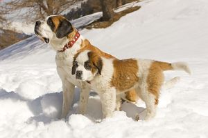 LA-5631 Dog - St Bernard - adult with puppy in snow