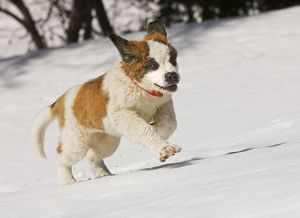 LA-5632 Dog - St Bernard - puppy running in snow