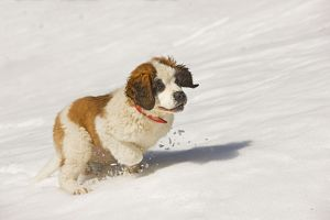 LA-5633 Dog - St Bernard - puppy running in snow