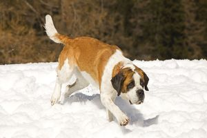 LA-5634 Dog - St Bernard - running in snow