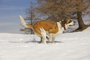 LA-5636 Dog - St Bernard - running in snow