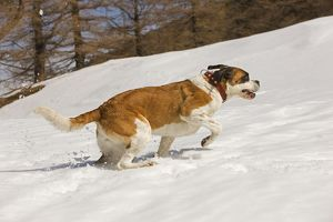 LA-5637 Dog - St Bernard - running in snow