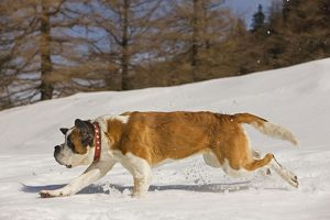 LA-5638 Dog - St Bernard - running in snow