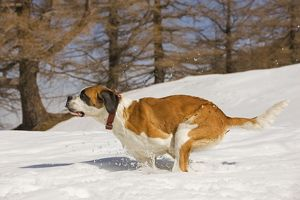 LA-5639 Dog - St Bernard - running in snow
