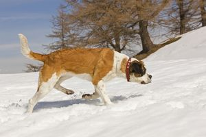 LA-5641 Dog - St Bernard - Mountain Resuce dog in snowy mountain setting