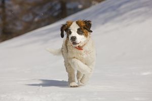 LA-5642 Dog - St Bernard - puppy running in snow