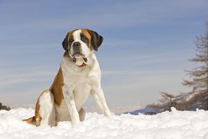 LA-5643 Dog - St Bernard - in snow