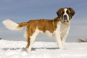 LA-5647 Dog - St Bernard - in snow