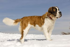 LA-5648 Dog - St Bernard - in snow