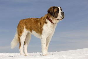 LA-5649 Dog - St Bernard - in snow