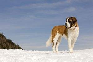 LA-5650 Dog - St Bernard - in snow