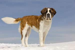 LA-5651 Dog - St Bernard - in snow