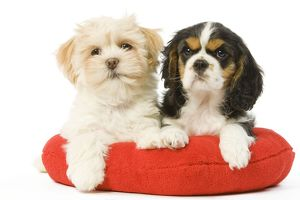 puppies/la 5658 dog lhasa apso cavalier king charles