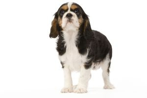LA-5659 Dog - Cavalier King Charles Spaniel - puppy in studio