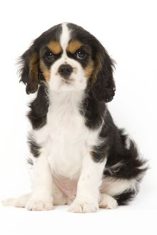 LA-5660 Dog - Cavalier King Charles Spaniel - puppy in studio
