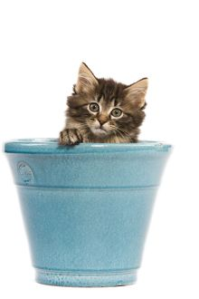 LA-5674 Norwegian Forest Cat / Norsk Skogkatt - 8 week old kitten in blue pot