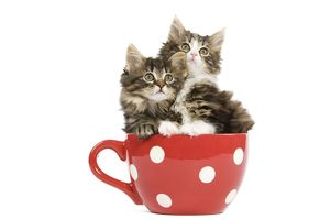 LA-5676 Norwegian Forest Cat / Norsk Skogkatt - two 8 week old kittens in red & white