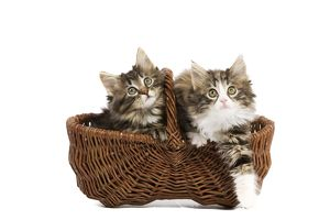 LA-5679 Norwegian Forest Cat / Norsk Skogkatt - two 8 week old kittens in wicker