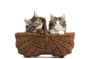 LA-5680 Norwegian Forest Cat / Norsk Skogkatt - two 8 week old kittens in wicker
