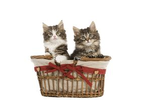 LA-5685 Norwegian Forest Cat / Norsk Skogkatt - two 8 week old kittens in wicker