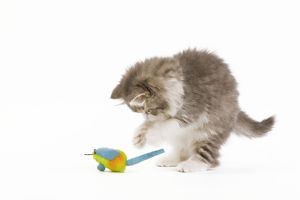 LA-5715 Cat - 8 week old British Longhair kitten in studio playing with toy