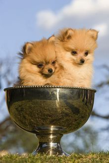 LA-5718 Dog - two Dwarf Spitz / Pomeranians - in silver cup