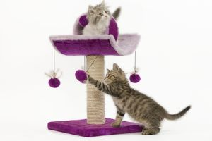 LA-5722 Cat - 8 week old British shorthair & British longhair kittens in studio playing