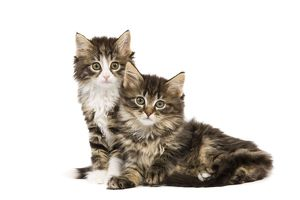 LA-5749 Cat - Norwegian Forest kittens in studio