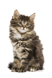 LA-5750 Cat - Norwegian Forest kitten in studio